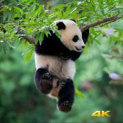Four Seasons with the Pandas